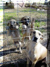 Great Dane Puppies , Great Danes for Sale , Great Dane Breeders