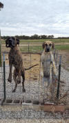Brindle Great Dane Le Tigre almost 3 yrs AKC