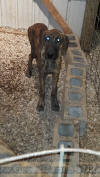Brindle AKC Great Dane Female 5.5 months old
