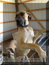 Fawn Great Dane Breeder Marshfield Missouri 65706 U.S.A.