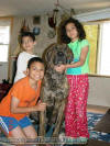Tiger & Kids what a wonderful stud Brindle Great Dane.