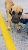 Fawn & Brindle Great Dane Puppies for sale Marshfield, Missouri 65706 USA